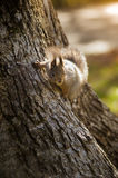 Squirrel in a tree in the park. Gray-brown squirrel lives on a tree in the forest Royalty Free Stock Images