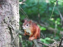 Squirrel on the tree. Squirrel on a tree in the Park Pavloska Stock Image