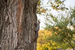 Squirrel on tree Royalty Free Stock Photography