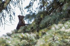 Squirrel on tree. Squirrel on pine tree in the garden Stock Photography