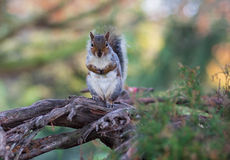 Squirrel. On the tree at Ravenscourt park Royalty Free Stock Image