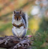 Squirrel. On the tree at Ravenscourt park Royalty Free Stock Photography
