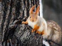 Squirrel on tree stock image