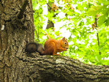 Squirrel on the tree Royalty Free Stock Photo