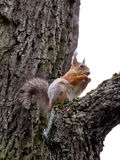 Squirrel on the tree Royalty Free Stock Photography