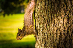 Squirrel on a tree in Saint Petersburg, Florida. Stock Images