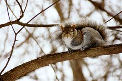 Squirrel On A Tree. A  squirrel sitting on a tree Royalty Free Stock Image