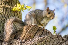 Squirrel in tree sitting up. Closeup of small squirrel sitting on tree branch looking at camera with soft focus Royalty Free Stock Photo
