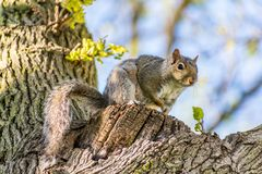 Squirrel in tree sitting up. Closeup of small squirrel sitting on tree branch looking at camera with soft focus Royalty Free Stock Image