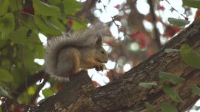 Squirrel on the tree. Slow motion. Squirrel gnaws a pine cone on a tree branch stock video
