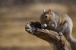 Squirrel. Tree squirrel on some dead fall eating sunflower seeds Royalty Free Stock Image