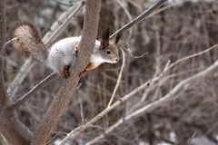 Squirrel on a tree in the spring forest stock image