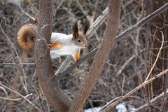 Squirrel on a tree in the spring forest stock photos