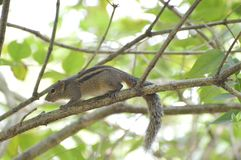 Squirrel On a Tree. Squirrel on a Tress  in Sri Lanka Royalty Free Stock Image