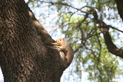 Squirrel on a tree. Squirrels are members of the family Sciuridae, a family that includes small or medium-size rodents. The squirrel family includes tree stock photography