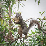Squirrel. On a tree standing on its hind legs Stock Photography