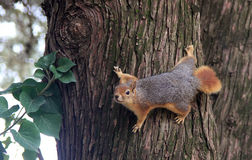 Squirrel on Tree. A squirrel is standing on a tree trunk royalty free stock image