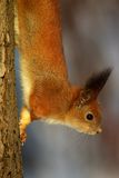 Squirrel on the tree stem royalty free stock images