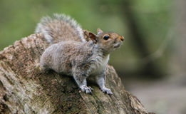 Squirrel on a tree stump Royalty Free Stock Images