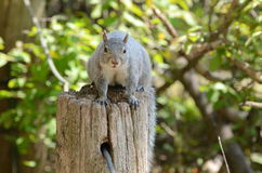 Squirrel on a tree stump Stock Photo