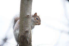 Squirrel. On the tree in summer Stock Image