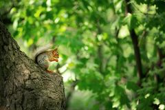 Squirrel on a tree royalty free stock image