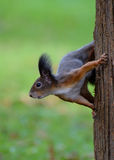 Squirrel on tree trunk Royalty Free Stock Photos