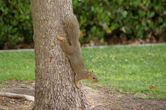 Squirrel on tree trunk Stock Images