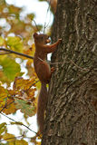 Squirrel on a tree trunk in the   forest. Stock Photography