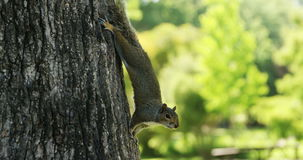 Squirrel on tree trunk in the park. On a sunny day stock video