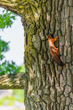 Squirrel on tree trunk Stock Photo