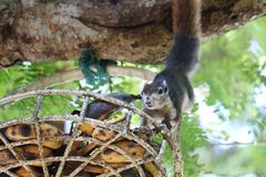 Squirrel on tree trying to eat bananas in the basket royalty free stock images