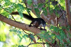 Squirrel on tree trying to eat bananas in the basket stock images