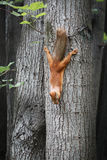 Squirrel on the tree. Ð¡urious squirrel on the tree in summer day stock photo