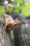 Squirrel on the tree. Ð¡urious squirrel on the tree in summer day stock photography