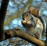 Squirrel on a tree with walnut in paws. Looks at a photographer Stock Photos