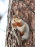 Squirrel on tree with walnut Royalty Free Stock Images
