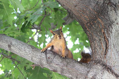 Squirrel in tree. Squirrel wants to greet you Royalty Free Stock Photo