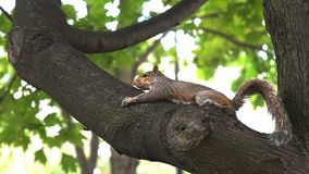 Squirrel in a tree at Washington mall. A squirrel in a tree at Washington mall in the United States of America stock video footage