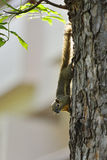 A squirrel on a tree Stock Photography