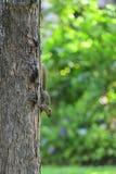 A squirrel on a tree Stock Photos