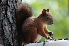 Squirrel On Tree. Squirrel on a tree in the wild Stock Image