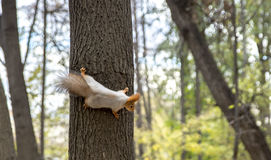 Squirrel on the tree Royalty Free Stock Image