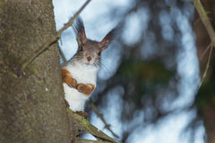 Squirrel on the tree. Wild squirrel sitting on a tree in a pine forest Royalty Free Stock Photo