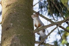 Squirrel on the tree. Wild squirrel sitting on a tree in a pine forest Royalty Free Stock Photos