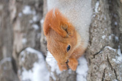 Squirrel on tree in winter. Closeup of a red squirrel on the trunk of a tree with snow.  Species:  Sciurus vulgaris Royalty Free Stock Photo