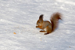 Squirrel on a tree in winter Royalty Free Stock Photo