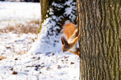 Squirrel on a tree in winter Stock Photos