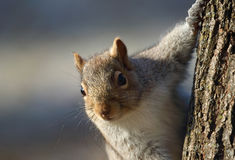 Squirrel in a tree Royalty Free Stock Photo