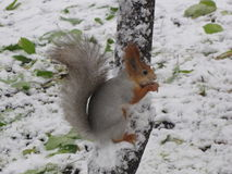 Squirrel  on the tree in winter Royalty Free Stock Image
